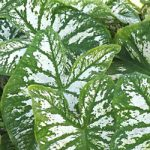 White Christmas Fancy Leaved Caladium – 3 tubers