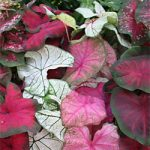 Mixed Fancy Leaved Caladiums – 6 tubers