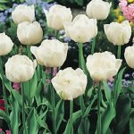 Mount Tacoma Double Late Tulip – 10 bulbs