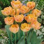 Creme Upstar Double Late Tulip – 10 bulbs