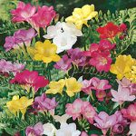 Mixed Freesia – 25 bulbs