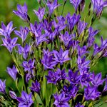 Queen Fabiola Brodiaea – 25 bulbs