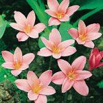 Fairy Lilies – 25 bulbs