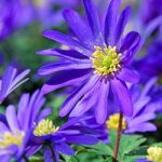 Blue Shades Anemone blanda – 25 bulbs