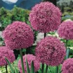 Gladiator Allium – 3 bulbs