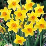 Fortune Large Cup Daffodil – 10 bulbs