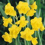 Quail Jonquilla Daffodil – 10 bulbs