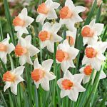Accent Large Cup Daffodil – 10 bulbs