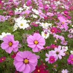Cosmos Sensation Mix Seed Mat