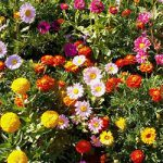 Sunburst Border Mix Seed Mat