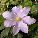 Riviera Clematis – 1 pre-started plant