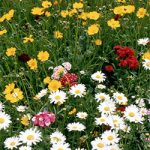 Wildflowers – Cutflower Mixture Bulk Seed – 1 pound