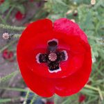 Papaver rhoeas – Red Corn Poppy Bulk Seed – 1 pound