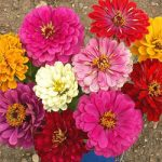 Zinnia elegans – California Giants Bulk Seed – 1 pound