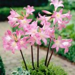 Naked Lady Amaryllis Belladonna – 3 bulbs
