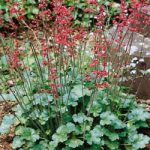 Coral Cloud Heuchera – 10 root divisions