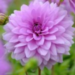 Blue Boy Decorative Dahlia – 3 root divisions