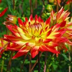 Aloha Cactus Dahlia – 3 root divisions