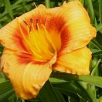Bumble Bee Daylily – 10 root divisions