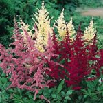 Mixed Astilbe – 5 root divisions
