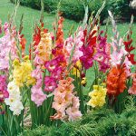 Mixed Super Jumbo Glads – 25 bulbs