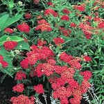 Red Beauty Yarrow – 10 root divisions