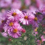 Purple Dome Aster – 10 root divisions