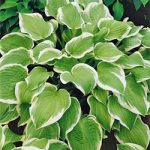 Shade Fanfare Hosta – 3 root divisions