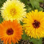 Calendula officinalis – Pot Marigold Bulk Seed – 1 pound