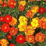 Tagetes patula – French Marigold – Sparky Mix Bulk Seed – 1 pound