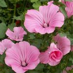 Lavatera trimestris – Tree Mallow Bulk Seed – 1 pound