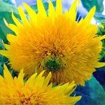 Helianthus annuus – Dwarf Sungold Sunflower – Teddybear Bulk Seed – 1 pound