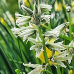 Drooping Star of Bethlehem – 25 bulbs
