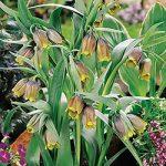 Uva vulpis Fritillaria – 5 bulbs