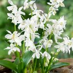 Alba Scilla siberica – 5 bulbs