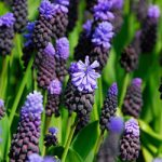 Latifolium Muscari – 10 bulbs