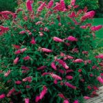 Pink Delight Buddleia – 10 root divisions