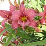Eenie Fanfare Daylily – 10 root divisions