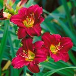 Pardon Me Daylily – 3 root divisions