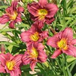 Siloam Plum Tree Daylily – 10 root divisions