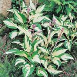 Fire & Ice Hosta – 10 root divisions