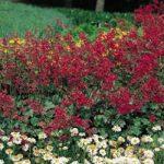 Sanquinea Heuchera – 10 root divisions