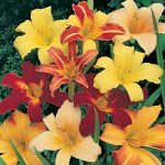Mixed Daylilies – 5 root divisions