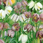 Mixed Checkered Lily Fritillaria – 10 bulbs