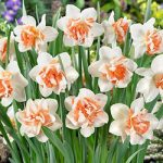 Replete Double Daffodil – 10 bulbs