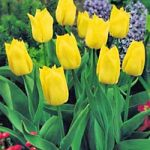 Yokohama Single Early Tulip – 10 bulbs