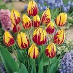 Mickey Mouse Single Early Tulip – 10 bulbs
