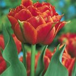 Orange Nassau Double Early Tulip – 10 bulbs