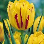 Monsella Double Early Tulip – 10 bulbs