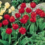 Abba Double Early Tulip – 10 bulbs